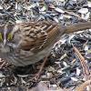 White-throated Sparrow (male)