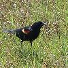 Red-winged Black Bird (male)